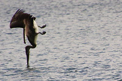 Photograph - Diving Pelican by Laurel Talabere