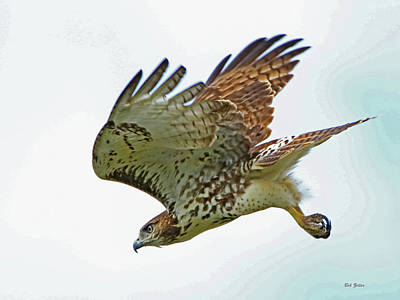 Photograph - Diving Red-tailed Hawk by Bob Zeller
