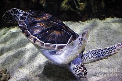 Diving Sea Turtle Art Print by Paulette Thomas