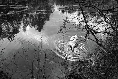 Photograph - Diving Swan by Glenn DiPaola