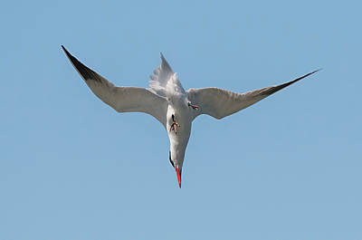 Photograph - Diving Tern by Loree Johnson