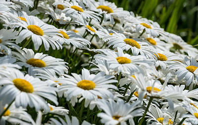 Photograph - Dizzy With Daisies by Andrew Miles