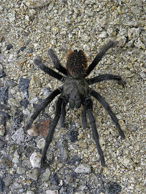 Photograph - Dn6804 Desert Tarantula by Ed Cooper Photography