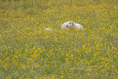 Photograph - Do Ewe Like Buttercups? by Karen Van Der Zijden