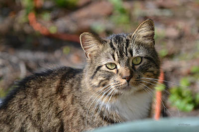 Photograph - Do You Love Me - Feral Tom Cat by RD Erickson