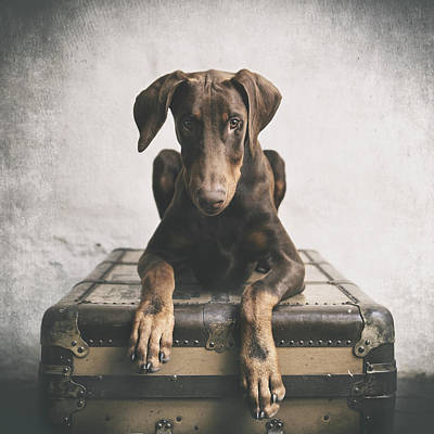 Doberman Pinscher Wall Art - Photograph - Doberman Pinscher Puppy 3 by Wolf Shadow Photography