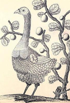 Dodo Bird Rodriguez Solitaire, Extinct Art Print by Biodiversity Heritage Library