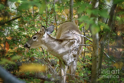 Photograph - Doe A Deer by Karen Adams