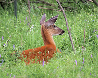 Photograph - Doe Among Wildflowers by Doris Potter
