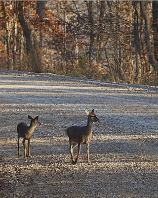 Photograph - Doe And Fawn At Steel Creek by Michael Dougherty