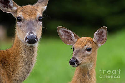Photograph - Doe And Fawn by Kevin McCarthy