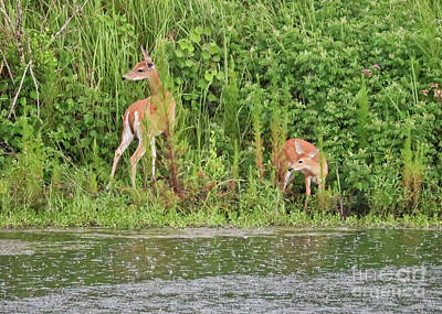 Photograph - Doe And Fawn Visit The Pond by Carol Groenen