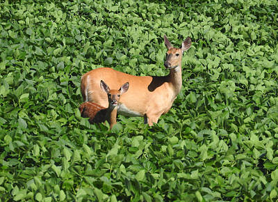 Photograph - Doe And Her Fawn by Janice Adomeit