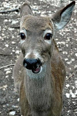 North America Photograph - Doe Eyed Deer Talk by LeeAnn McLaneGoetz McLaneGoetzStudioLLCcom