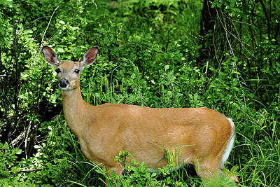 Photograph - Doe Eyes by Debbie Oppermann
