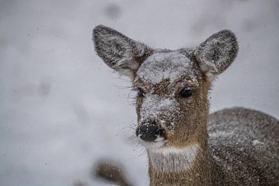 Trophy Buck Photograph - Doe In A Blizzard by Paul Freidlund
