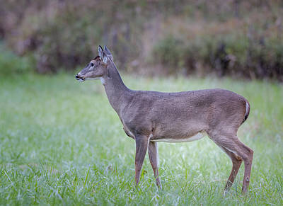 Photograph - Doe In Cades Cove by Tyson Smith
