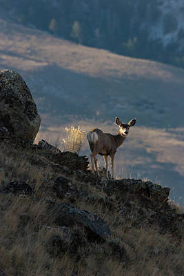 Photograph - Doe In Dramatic Light by Mark Miller