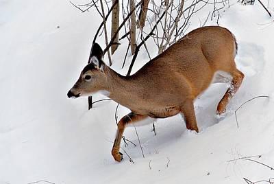 Deer Photograph - Doe In Snow by Carol Deltoro