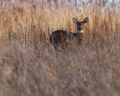 Photograph - Doe In The Reeds by Timothy McIntyre