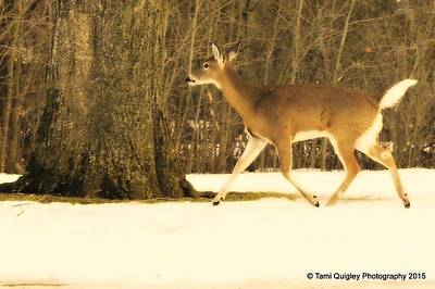 Photograph - Doe In The Spring Snow by Tami Quigley
