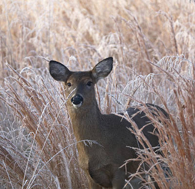 Photograph - Doe In Winter by Paul Ross