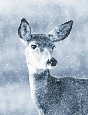 Photograph - Doe Mule Deer Winter Blue by Jennie Marie Schell