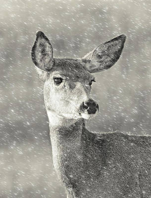 Photograph - Doe Mule Deer Winter Snow by Jennie Marie Schell