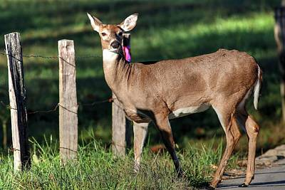 Cades Cove Photograph - Doe Out For A Stroll by Carol R Montoya