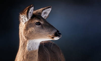 Doe Portrait - White Tailed Deer Art Print by SharaLee Art