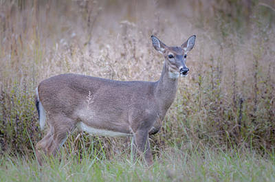 Photograph - Doe by Tyson Smith