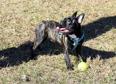 Adorable French Bulldog Puppy Photograph - Dog 379 by Joyce StJames