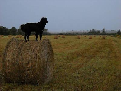 Photograph - Dog Checking Hay Field by Kent Lorentzen