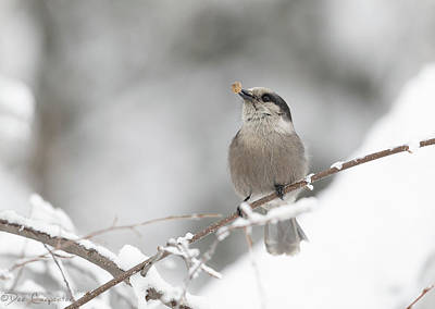 Photograph - Dog Food For The Gray Jay by Dee Carpenter
