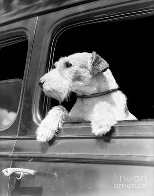Dog Looking Out Of Car Window Art Print by H. Armstrong Roberts/ClassicStock