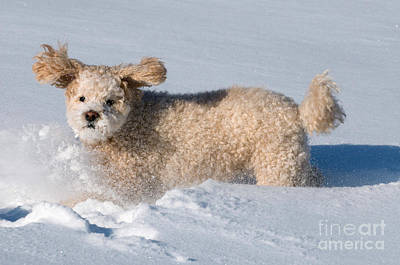Photograph - Dog Playing In Snow by Stephen J Krasemann
