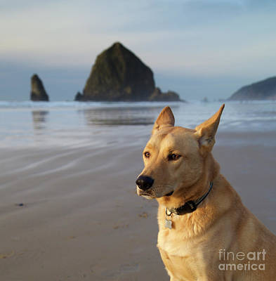 Pointy Ears Photograph - Dog Portrait @ Cannon Beach by Bruce Block