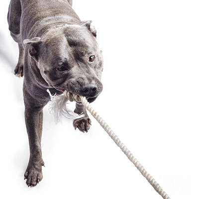 Dog Pulling On Rope Art Print
