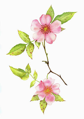 Dog Rose Watercolor Art Print by Taylan Apukovska