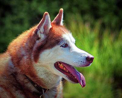 Photograph - Dog Siberian Husky Canis Lupus In Profile by Bill Swartwout Photography