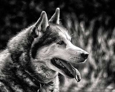 Photograph - Dog Siberian Husky Profile In Black And White by Bill Swartwout