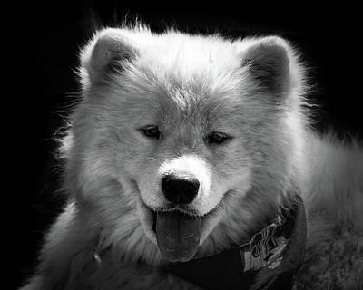 Photograph - Dog - Teddy Bear Puppy Samoyed Black And White by Bill Swartwout Photography