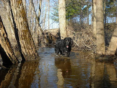 Photograph - Dog Wading In Swollen River by Kent Lorentzen