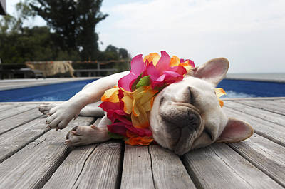 Cute French Bulldog Photograph - Dog Wearing Lei By Pool by Tim Kitchen