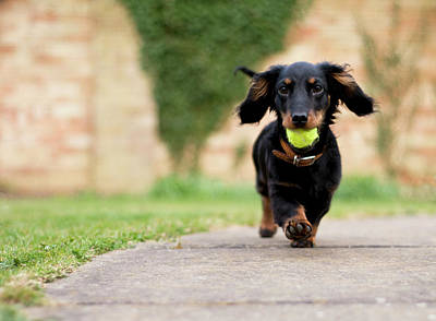 Dachshund Puppy Photograph - Dog With Ball by Ian Payne