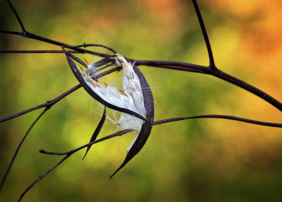 Photograph - Dogbane Seed Pods by Carolyn Derstine
