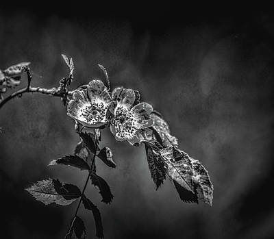 Photograph - Dogrose Bw #h1 by Leif Sohlman