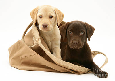 Chocolate Lab Photograph - Dogs In Cloth Bag by Jane Burton