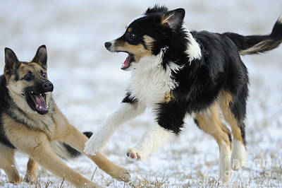 Dogs Playing In Snow Print by David & Micha Sheldon