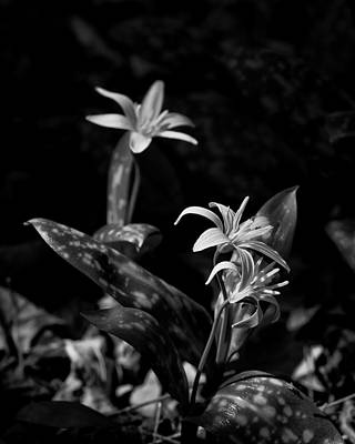 Photograph - Dogtooth Violet In Black And White by Michael Dougherty